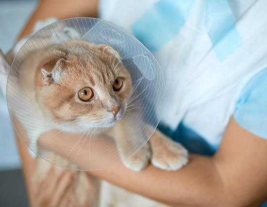 cirugía veterinaria madrid gatos
