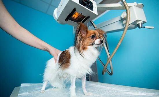 radiografía perro madrid